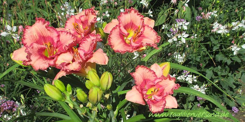 Taglilien im Garten